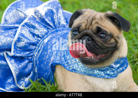 Pug wearing tutu - Stock Photo