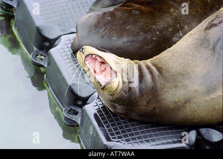 California sea lion Zalophus californianus basking on raft at Pier 39 near Fishermans Wharf San Francisco California - Stock Photo
