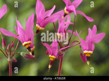 Dodecatheon pulchellum subsp. pulchellum 'Red Wings'. (Shooting stars, American cowslip) - Stock Photo