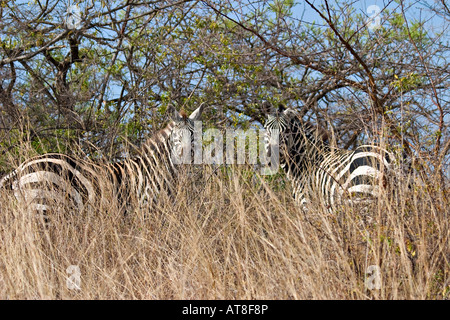Burchell's zebras at Nechisar National Park, Ethiopia, Africa - Stock Photo
