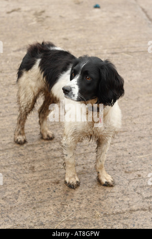 English Springer Spaniel dog black and white working dog standing in a farm yard - Stock Photo