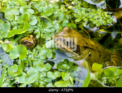 A Common Frog (Rana temporaria) and froglet among pondweed (frogbit) in a garden pond. UK - Stock Photo