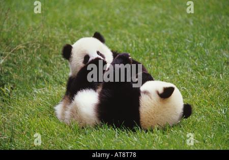 giant panda two cubs playing ailuropoda melanoleuca - Stock Photo