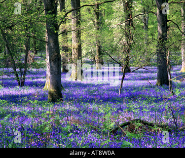 GB - GLOUCESTERSHIRE:  Bluebells at the Royal Forest of Dean - Stock Photo