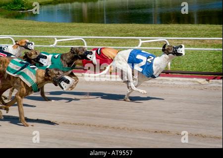 Greyhound Dog Racing Sarasota Florida - Stock Photo