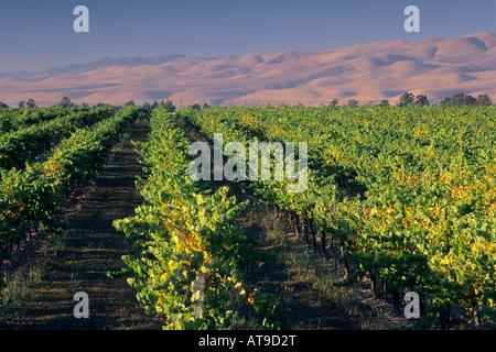 Vineyards in the Santa Maria Valley San Luis Obispo County CALIFORNIA - Stock Photo