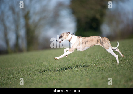 Whippet running in field - Stock Photo