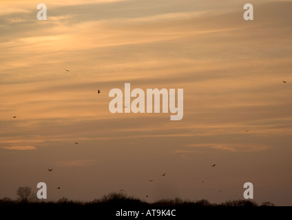 Sunset in December north Norfolk, with hen harriers coming to roost - Stock Photo