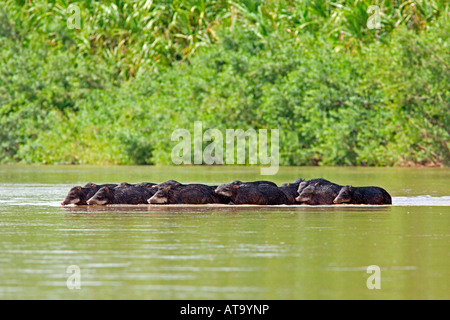 Peccaries Crossing River - Stock Photo