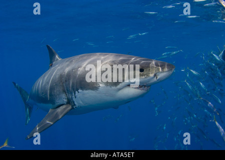 Great White Shark, Carcharodon carcharias, photographed just below the surface off Guadalupe Island, Mexico. - Stock Photo