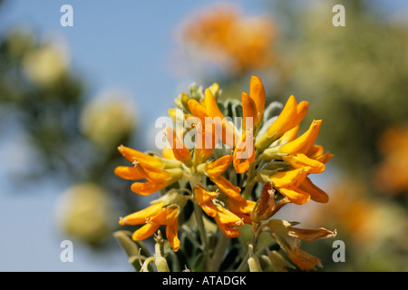 Anagyris foetida, Bean trefoil - Stock Photo