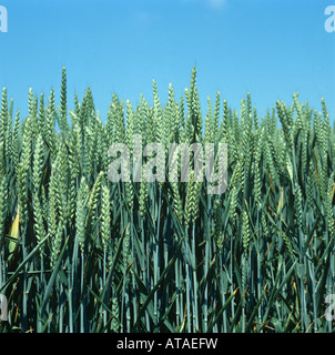 Wheat crop in green unripe ear against a clear blue summer sky - Stock Photo