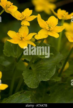 Marsh marigolds or kingcups; Caltha palustris - Stock Photo