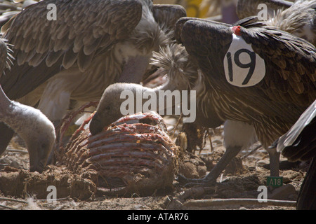 Indian white backed vulture Gyps bengalensis juvenile at feeding time in captivity India - Stock Photo