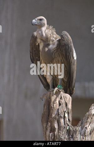 Indian white rumped vulture Gyps bengalensis juvenile with full crop perched in colony aviary India - Stock Photo
