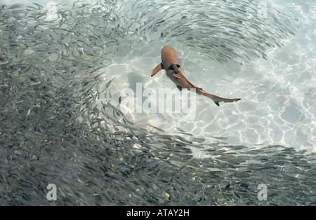 Black Tipped Reef Shark ( Carcharhinus melanopterus ) Hunting Shoal of Fish , Maldives, Indian Ocean - Stock Photo