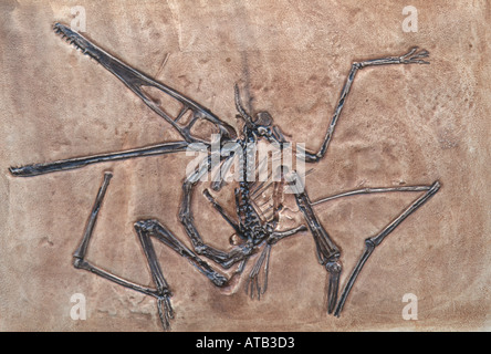 A fossil pterosaur - Stock Photo