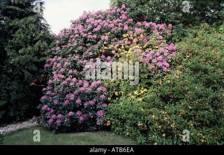 Rhododendron bush in full flower in mature shrub border - Stock Photo