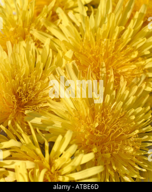 Pure Gold, open flowers of Dandelions. Named from a corruption from the French of 'dent de lion' tooth of the lion - Stock Photo
