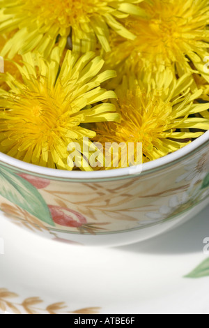 Dandelion flower heads.  A natural herbal and diuretic often used as a herbal tea. - Stock Photo