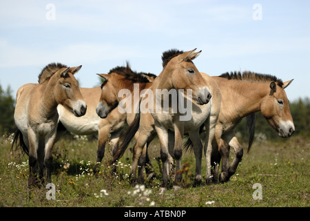 Przewalski's horse (Equus przewalski), wild horses on a meadow, release for grazing, Germany, Bavaria - Stock Photo