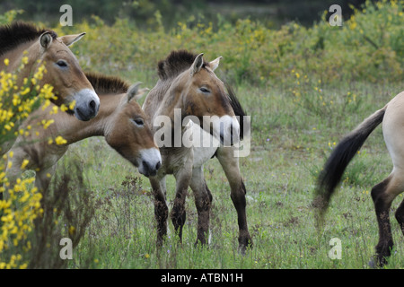 Przewalski's horse (Equus przewalski), herd on a meadow, release for grazing, Germany, Bavaria - Stock Photo