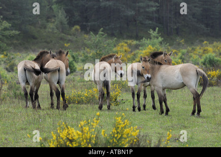 Przewalski's horse (Equus przewalski), herd standing on a meadow, release for grazing, Germany, Bavaria - Stock Photo
