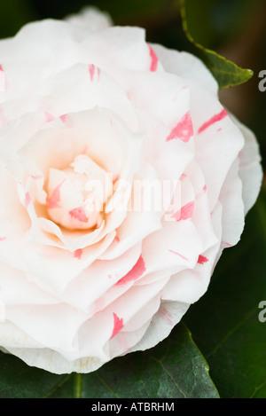 Camellia flower, close-up - Stock Photo