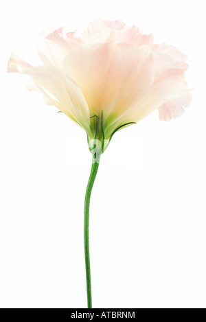 Eustoma flower, close-up, side view - Stock Photo