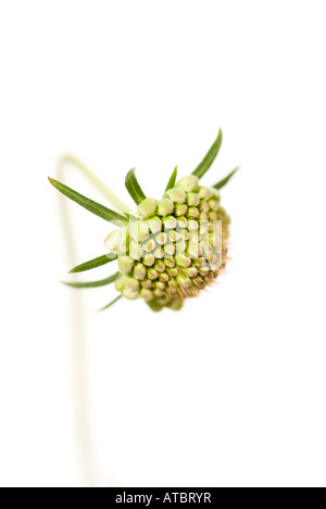 Scabiosa flower bud - Stock Photo