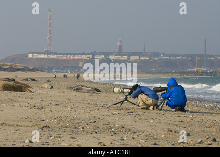 Nature photographers on Helgoland, photographing Gray Seals resting on the beach, Germany, Schleswig-Holstein, Heligoland - Stock Photo