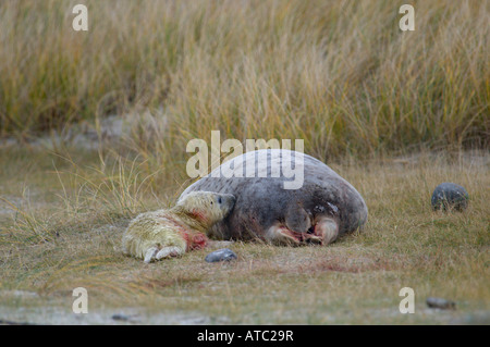 gray seal (Halichoerus grypus), female with new born, there is still blood on the young which is only a few minutes - Stock Photo