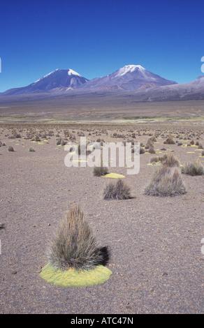 Ichu grass (Jarava ichu) tufts in altiplano desert, Payachatas volcanoes in background, Sajama National Park, Bolivia - Stock Photo