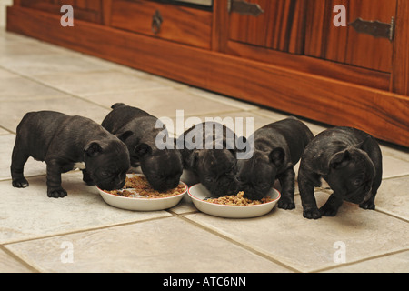 French Bulldog (Canis lupus f. familiaris), five 5 week old whelps feeding - Stock Photo