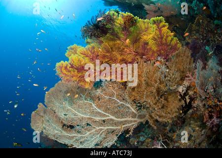 rich reef with sea fans Subergorgia mollis Acalycigorgia sp Raja Ampat Irian Jaya West Papua Pacific Ocean Indonesia - Stock Photo