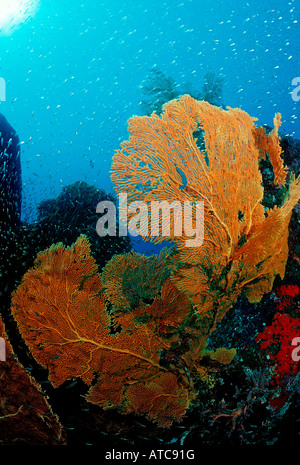 Gorgonien Fan Similan Islands Thailand - Stock Photo