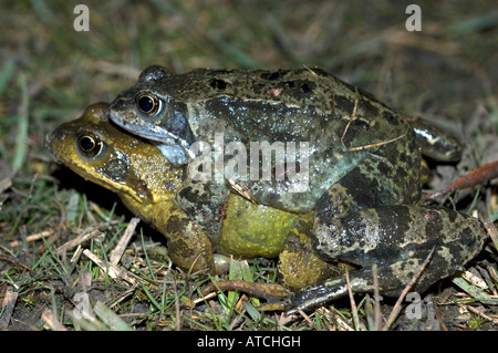 Common Frogs on their way to a pond to spawn note the size difference between sexes male above - Stock Photo