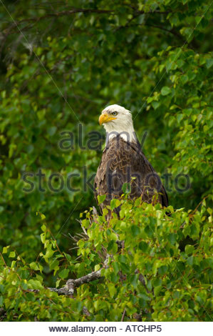 Bald eagle perched in a tree along Big Bear Lakes near Redoubt Bay Lodge Cook Inlet Alaska - Stock Photo