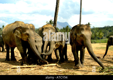 kandy elephants elephant ceylon sri lanka stock photo royalty free image 5315468 alamy. Black Bedroom Furniture Sets. Home Design Ideas