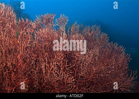 Field of deep water sea fans, off Bimini Island, Bahamas - Stock Photo