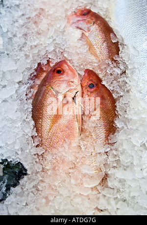 Fresh Rockfish Pacific red snapper on ice - Stock Photo