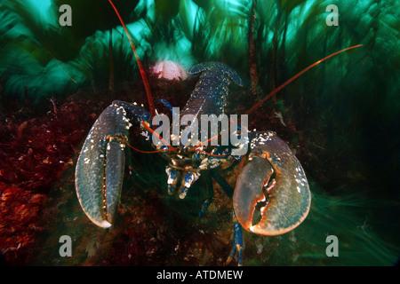 Common Lobster Homarus gammarus Valentia Island Atlantic Ireland - Stock Photo
