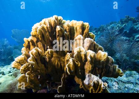 Blade Fire Coral Millepora sp Caribbean Sea Florida USA - Stock Photo