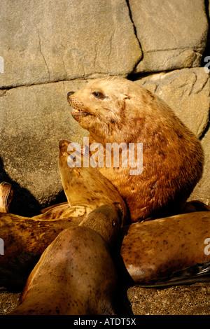 Colony of Stellar Sea Lions Eumetopias jubatus Ernest Sound Alaska Pacific Ocean - Stock Photo