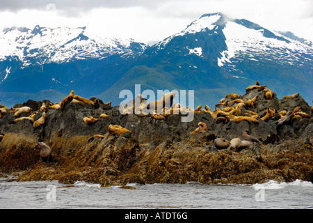 Colony of Stellar Sea Lions Eumetopias jubatus Frederick Sound Inside Passage Alaska Pacific Ocean - Stock Photo