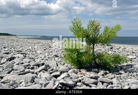 Pine plant on shingle beach - Stock Photo