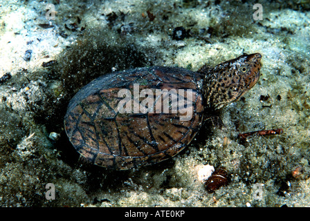 Florida snapping Turtle Chelydra serpentina osceola Rainbow Springs Florida USA - Stock Photo