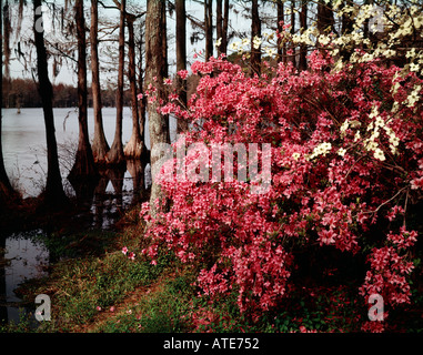 Greenfield Gardens at Wilmington in North Carolina showing azaleas blooming in a swampy area of mature Cypress trees - Stock Photo