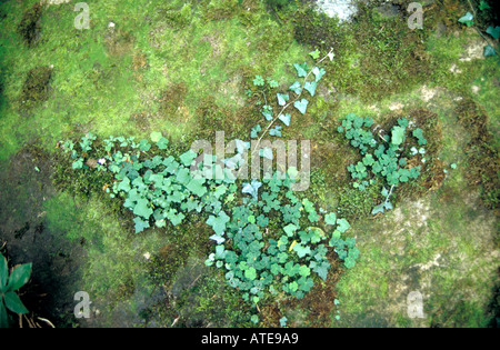 Clover and moss growing on a stone in woodland - Stock Photo