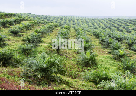 Oil palm plantation in Malaysia. - Stock Photo